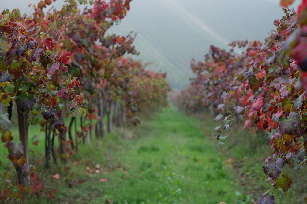 Vigne di Grasparossa ; vitigno autoctono del modenese
